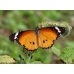 WORLD COLLECTION OF EXOTIC BUTTERFLIES Ten pupae